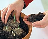 Zantedeschia aethiopica / Callaknollen im April in Topf legen,