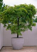 Acer palmatum 'Dissectum Viride' / grünblättriger, japanischer