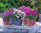 Pelargonium Angeleyes 'Randy', 'Viola', 'Light'/ Engelsgeranien