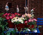 Petunia grandiflora 'Choir of Angels', 'Flambe Salmon' / Petunien