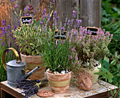 Lavandula / Lavendel, Salvia 'Creme de la Creme' / Edelsalbei, Thymus citriodoru