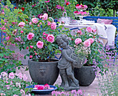 Rosa 'Gertrude Jekyll', 'Mary Rose' / Englische Duftrosen,
