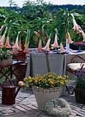 Datura (Brugmansia) 'Pink Favourite' / Engelstrompete, Nemesia
