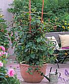 Rubus 'Tayberry' / Him-Brombeere am Spalier, Dahlia / Kaktusdahlie