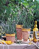 Lavandula angustifolia 'Diamant' / weißer Lavendel, Gläser, gelbe