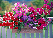 Petunia Dreams 'Picotee Red + Rose' - Sky Blue' - 'Choir of Angels'