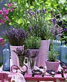 Lavandula 'Hidcote Blue' - Dwarf Blue ' and ' Munsted' lavender in pink pots