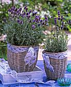 Lavandula 'Hidcote Blue'-Munsted' (Lavender)