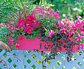 Pelargonium 'Salmon Rose' / Geranie, Nicotiana / Ziertabak