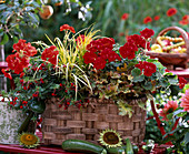Pelargonium 'Diabolo - 'Grand Prix' / Geranien, Cuphea 'Torpedo' / Mauseöhrchen,