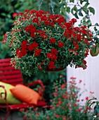 Verbena 'Bushy Crimson' / Eisenkraut