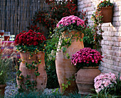 Chrysanthemum 'Tictac' - 'Tisy' - 'Padoc' - 'Yahou Lilac-Pink' (Chrysanthemen) i