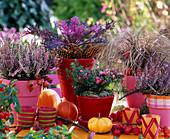 Calluna 'Annette' - 'Amethyst' / Heide, Brassica / Zierkohl, Carex 'Bronce Perfe