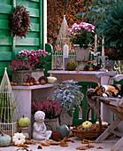 Calluna 'Annette' -'Aphrodite' (Heide), Cineraria (Silberblatt), Chrysanthemum,