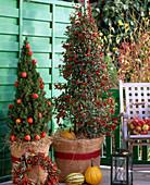 Ilex aquifolium 'Alaska' / Stechpalme, Picea glauca 'Conica' / Zuckerhutfichte g