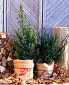 Winterschutz für Ilex / Stechpalme und Taxus-Eibe