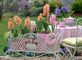 Hyacinthus 'Gipsy Queen' - 'Pink Pearl' - 'Apricot Passion'