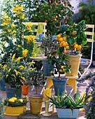 Citrus limon 'Florentina' (Zitrone)