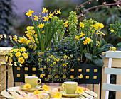 Narcissus (Narzissen), Primula 'Butter Yellow' - 'Cabrillo'