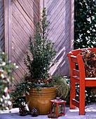 Ilex aquifolium 'Myrtifolia' (Myrtenblättrige Stechpalme)