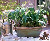 Allium ursinum (blühender Bärlauch)