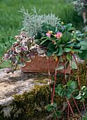 Rosablühende Erdbeere, Günsel 'Burgundy Glow' und Heiligenkraut im Terracotta-Kasten