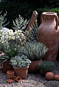 Agapanthus ORIENTALIS, ANTHEMIS cretica VAR. cupaniana, Artemisia 'Lambrok Silve