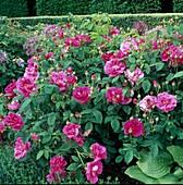 Rosa gallica 'Officinalis' Vor 1300, Apothekerrose, historische Strauchrose, Blütezeit Juni - Juli, guter Duft
