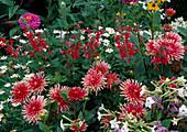 Dahlia 'Pianella' (Kaktusdahlien), Salvia splendens (Prachtsalbei), Argyranthemum (Margeriten) und Nicotiana (Ziertabak)