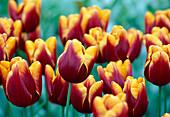 Tulipa 'Karl Danner'
