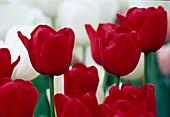Tulipa 'APELDOORN' TULPEN Darwin-Hybriden