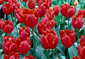 Tulipa 'Arma'