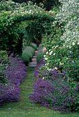 Nepeta (Katzenminze), Lavandula (Lavendel) säumen den Weg unter Rosenbogen mit Rosa (Kletterrosen)