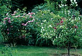 Rosa (Rosen), Philadelphus 'Belle Etoile' (Pfeifenstrauch) als Fußstamm gezogen und knospige Hemerocallis (Taglilie)
