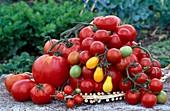 Frisch geerntete Tomaten (Lycopersicon) - Kirschtomaten, Cocktailtomaten, runde Tomaten und Fleischtomaten