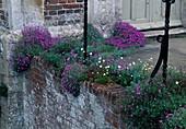 Aubrieta (Blaukissen) und Saxifraga arendsii (Moossteinbrech) wachsen an alter Mauer neben Eingang