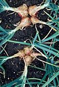 Schalotte, auch Edelzwiebel, Askalonzwiebel, Eschalotte oder Eschlauch (Allium ascalonicum)