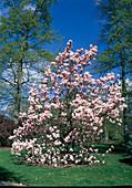 Magnolia × soulangeana (Tulpenmagnolie)