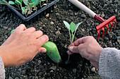 Kohlpflanzen Einsetzen