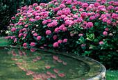 Hydrangea MACROPHYLLA / HORTENSIEN am TEICHBECKEN