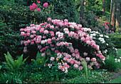 Rhododendron (Alpenrosen) im lichten Schatten unter grossen Bäumen, Farne