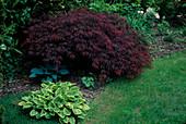 Acer palmatum 'Dissectum Garnet' (Japanischer Schlitzahorn), Hosta (Funkie)