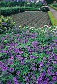Geranium magnificum (Pracht-Storchschnabel) als Bodendecker , hinten Feld mit Porree, Lauch (Allium porrum)