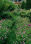 Verwilderter Landhausgarten : Rasenweg zwischen Geranium (Storchschnabel)