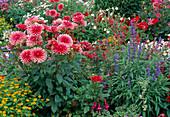 Buntes Sommerbeet mit Dahlia 'Pianella' (Kaktusdahlien), Melampodium (Sterntaler), Salvia farinacea (Mehlsalbei)
