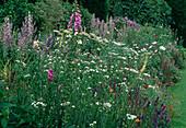 Blumenbeet : Digitalis (Fingerhut), Salvia (Salbei), Achillea ptarmica (Sumpfgarbe, Betramsgarbe)