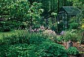 Beet mit Polygonum bistorta (Knöterich, Schlangenknoeterich), Geranium (Storchschnabel), Sedum (Fetthenne), Grabgabel, Giesskanne, Gewächshaus