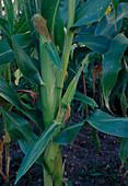 Zuckermais (Zea mays) mit noch unreifen Maiskolben im Beet