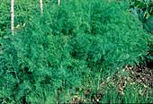Dill (Anethum graveolens) im Kräuterbeet