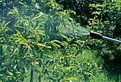 Prunus dulcis (Mandelbaum , suesse Mandel) gegen Krankheiten und Schädlinge spritzen